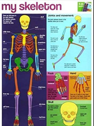 Picture of My Skeleton Wall Chart / Poster - 76cm x 52cm